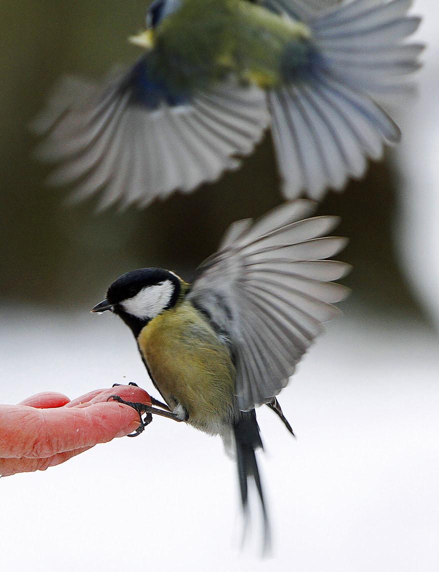 Birds, winter, Poland