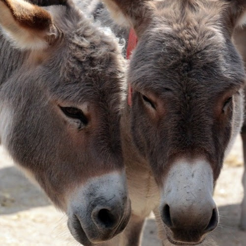 Donkey skin is the new ivory for the Chinese in Africa by The China Africa Project