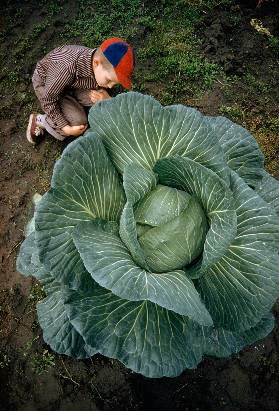 A little boy is dwarfed by a supersized cabbage in Matanuska Valley, Alaska, July 1959.Photograph by Thomas J. Abercrombie, National Geographic