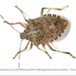 Stink Bugs: Information on Pest Control to Get Rid of Stink Bugs