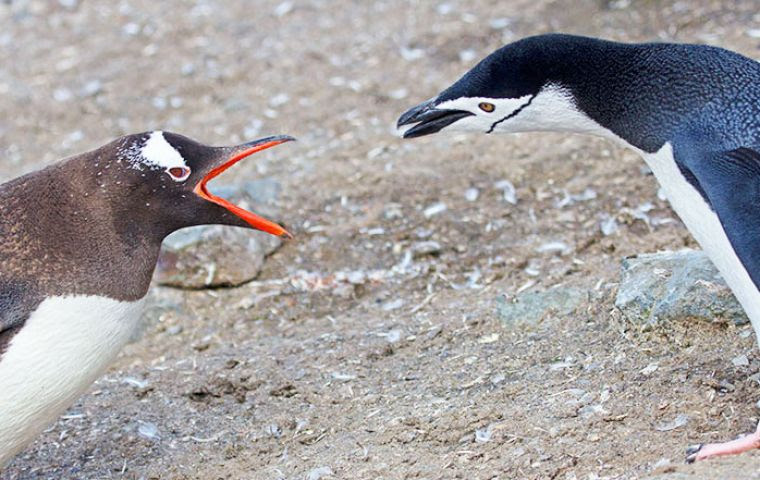 Image result for chinstrap and gentoo penguins