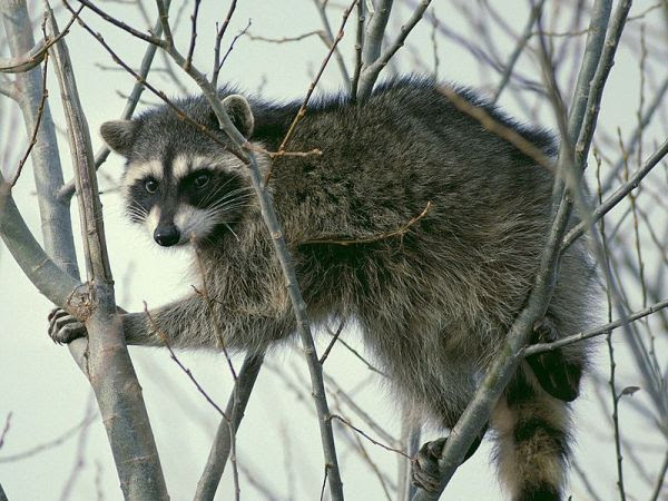 U.S. Park Police Officer Tries to Shoot Raccoon, Shoots His Own Foot Instead: Report