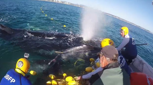Whale calf rescued from shark net as debate rages over NSW beach safety