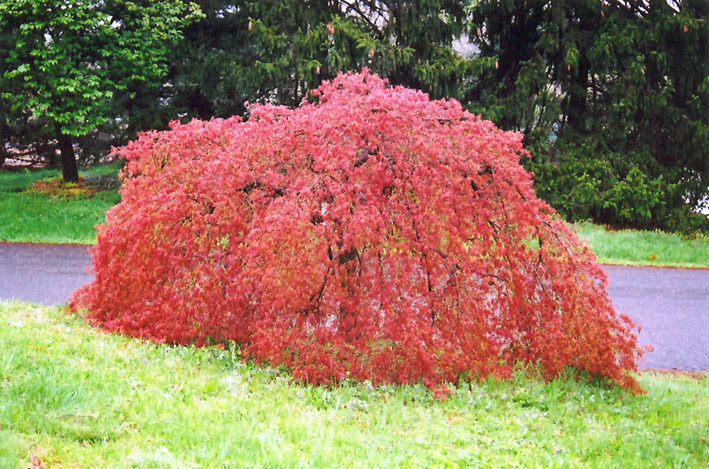 Weeping Japanese Maple Acer Palmatum Pendulum In Toronto