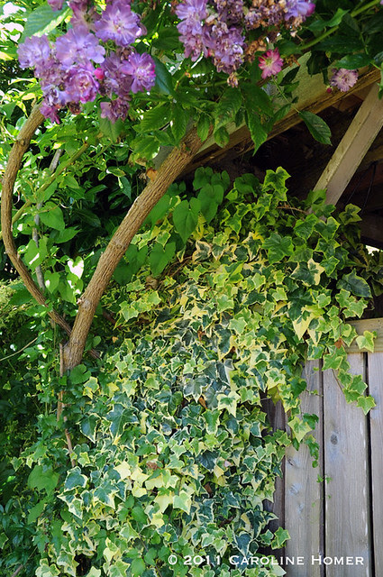 Purple climbing rose, varigated ivy, and air potato?