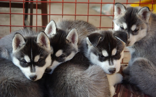 5 Things to Keep in Mind when Buying a Purebred Puppy from a Breeder - All Pets Magazine