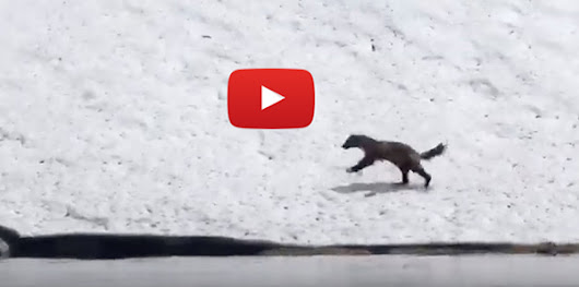 Rare and Raw: Wild Wolverine Video