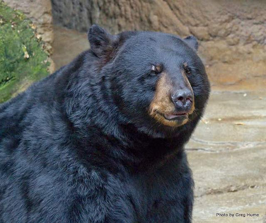 Interview with a Black Bear