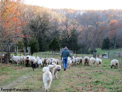 Sheep working Sunday afternoon (4) - FarmgirlFare.com