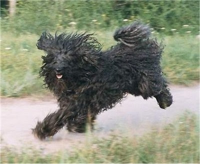 Kerry Blue Terrier Strong Dog