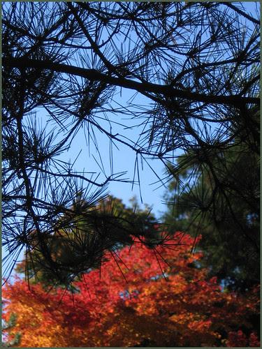 EN11 pattern momiji pine
