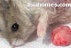 Singapore Dwarf hamster with breast tumour removed