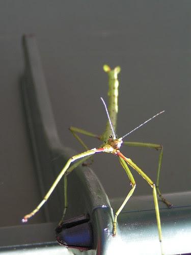stickbug 2