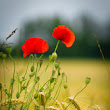 The Poppy is an angiosperm or flowering plant of the family Papaveraceae.