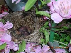bulbul chicks1 (10May)