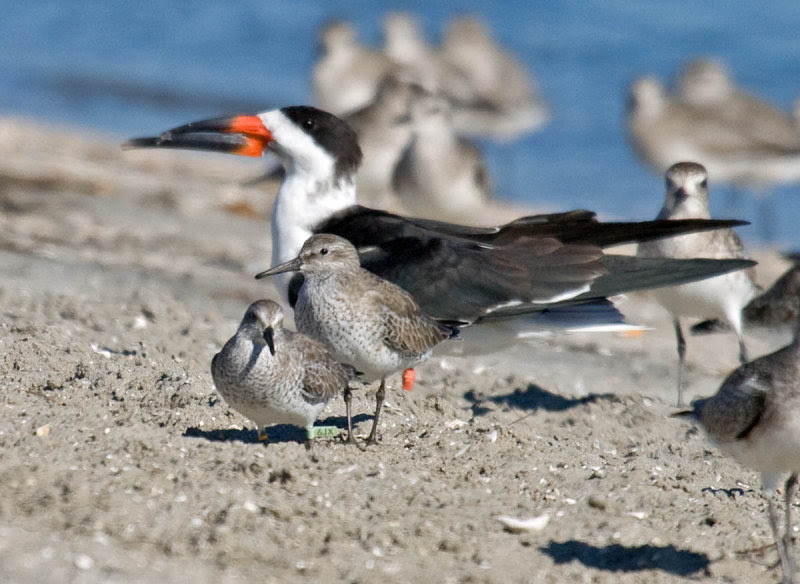 Two Red Knots in front of a Black Skimmer