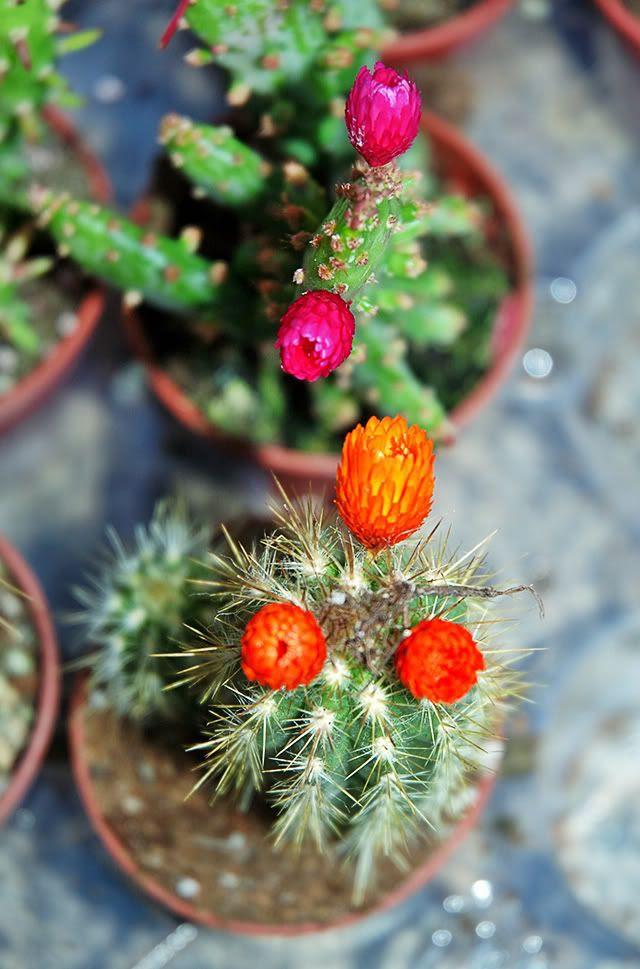Cactus Flowers in Las Ramblas stall [enlarge]
