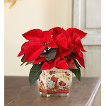 Holiday Traditions Poinsettia, Small - by 1-800 Flowers