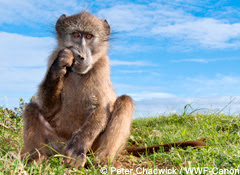 Young Chacma baboon feeding on newly sprouting bulbs