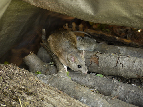 woodrat in the wood pile