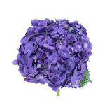 Hydrangea Purple Wholesale Flowers (20 stems)