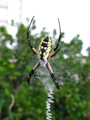 Writing spider in the front shrubs