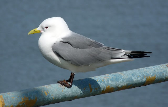 24119 - Kittiwake on Mumbles Pier