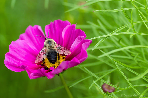 a bee posing, eating nectar