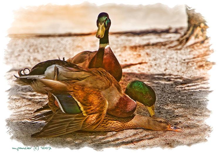 Michael Pancier Photography Blog: Duck Porn - Now