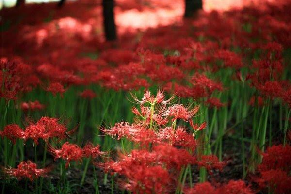 Ликроис, цветок призраков