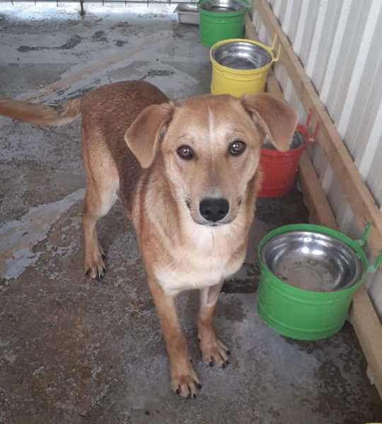 Goldie – 2 year old female Cross-Breed