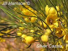 Silver Cassia