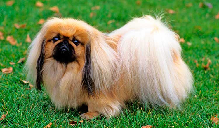 View Ad: Pekingese Puppy for Sale me in Georgia USA