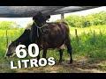 Vaca de Milhã pode chegar a produzir 60 litros de leite