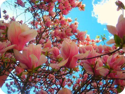 Magnolias are my favorite
