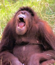 http://www.infoniac.com/uimg/orangutan-laugh.jpg
