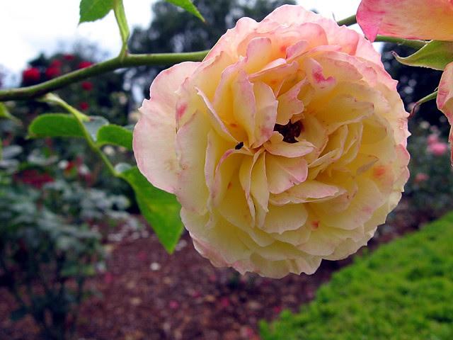 Roses, Peninsula Park