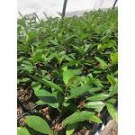 Frangula caroliniana One Quart   Conservation Quality Plants by ArcheWild
