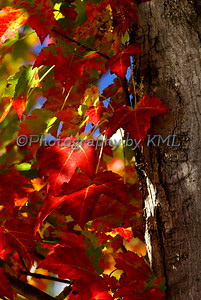 macro of red maple leaves in the autumn