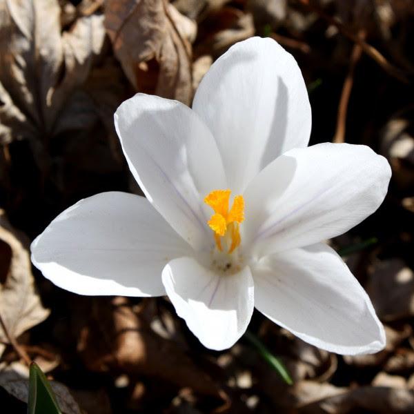 White Crocus Flower - Free High Resolution Photo
