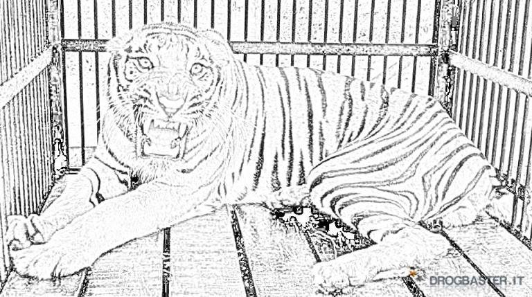 Disegno Da Colorare Di Tigre