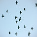 wrj_rock_doves_close