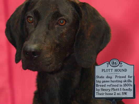 What Is The Plott Hound? North Carolina's State Dog - North Carolina Field and Family