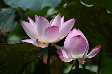 pink lutos flower  stock photo