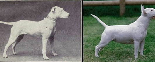 "100 Years of Breed ""Improvement"""