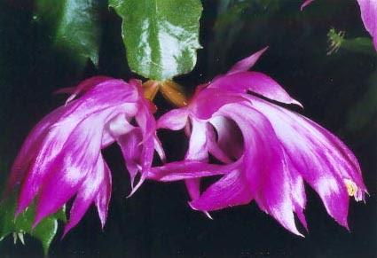 http://cactusepiphytes.pagesperso-orange.fr/Photos14_2007/zygocactus_orssich_p14.jpg