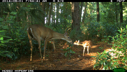 Deer 'kissing' fawn among finalists in camera trap photo contest