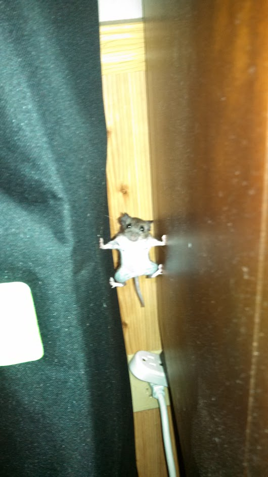 A mouse that went into Mission Impossible mode in my house last year. - Imgur