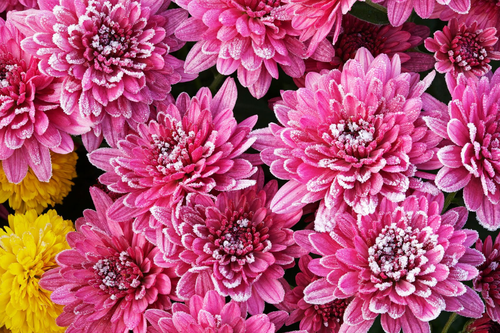 Chrysanthemums winter