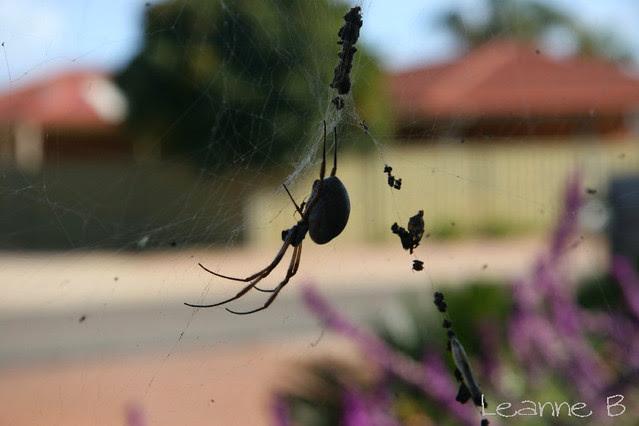 Rose's spider